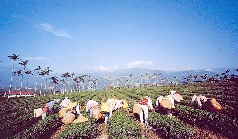 舞鶴觀光茶區-採茶